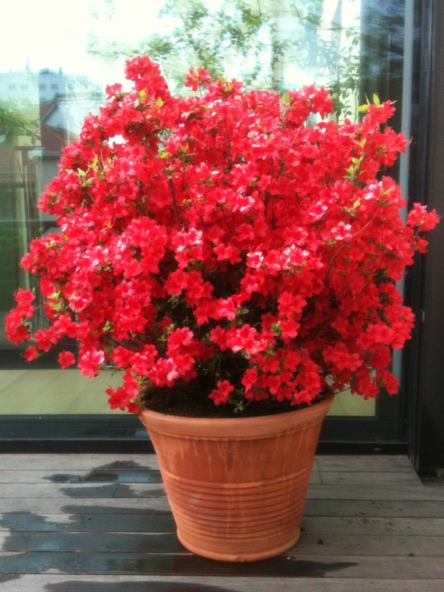 The giant azalea